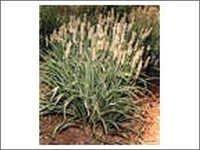 Organic Psyllium Seed