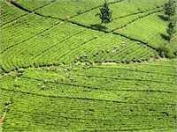 Castor Oil For Agriculture