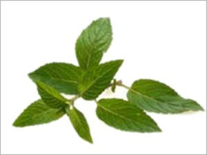 Mint Extract