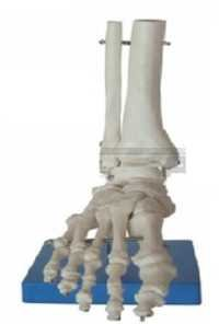 Life Size Foot Joint Model ( BEP-113 )