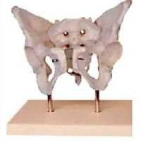 Adult Female Pelvis With Stand BEP-124