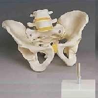 Human Male Pelvis Model BEP-123-1