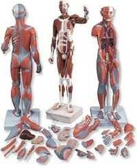 Male Muscle Figure