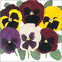 Pansy-Majestic Giants (Mixed)