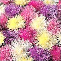 Aster - Spider Chrysanthemum