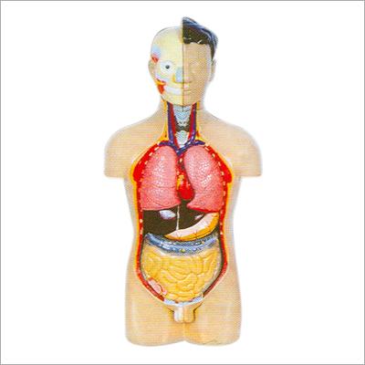 Human Torso Body Parts