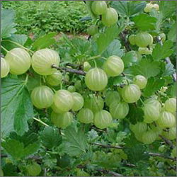 Fresh Amla Fruits