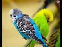Emerald Budgerigars