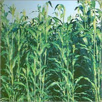 Hybrid Forage Sorghum Seeds