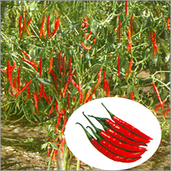 Hybrid Hot Pepper Seed