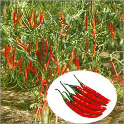Hybrid Hot Pepper Seed