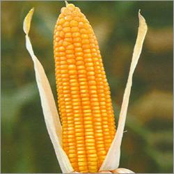 Maize Hybrid  Seed