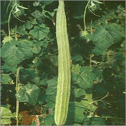 Ridgegourd Seed