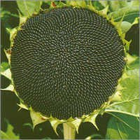 Sunflower Hybrid Seed