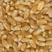 Hybrid Wheat  Seeds