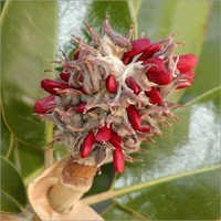 Magnolia Seeds oil