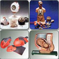 Fiber Glass Anatomical Models