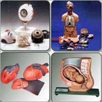 Fiber Glass Anatomical Models