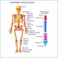 Human Model