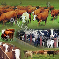 Cattle & Poultry Feed