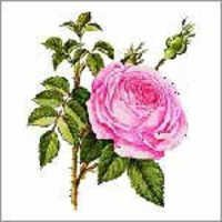 Rose Oil (Rose Damascena)