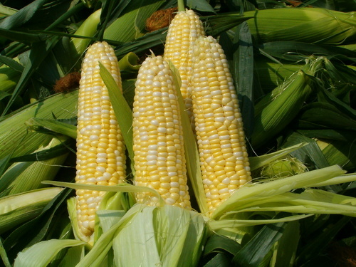 Role Of Vermi Compost In Corn-Makki