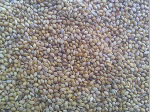 Yellow Millet