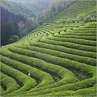 Nutritions Green Tea