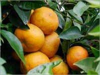 Citrus Fibres