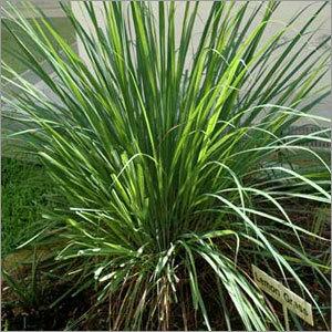 Leman Grass