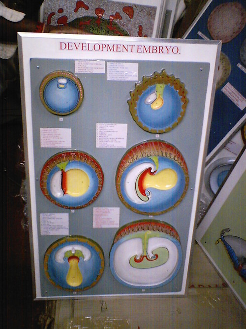Medical Embryology Models