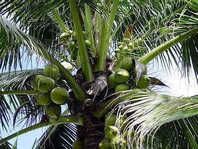 Coconut Suppliers, Fresh Coconut Wholesale Suppliers, Husk
