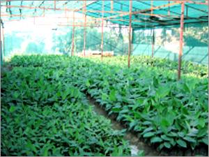 Secondary Hardened Grand Naine Banana Plants