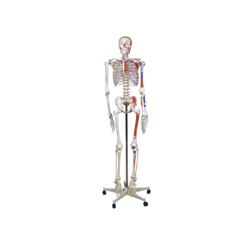 HUMAN SKELETON MODEL WITH STAND