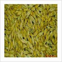 Barley (Jav)