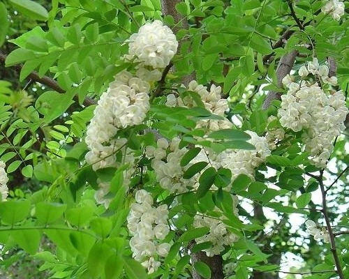 Rutin Herbs