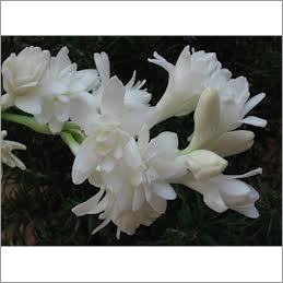 Tuberose Absolute Oil
