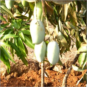 Natural Mango Fruits