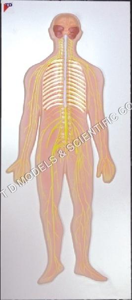 Nervous System Model