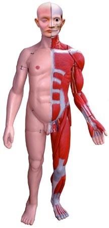 Human Muscular Torso