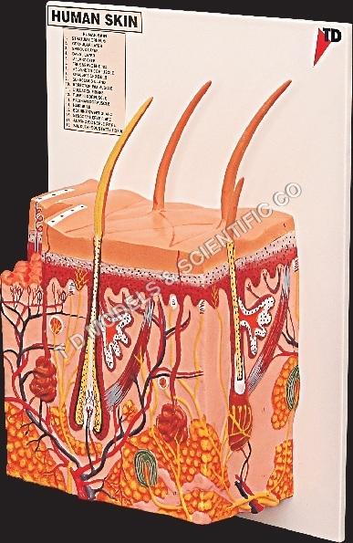 Anatomical Skin Models