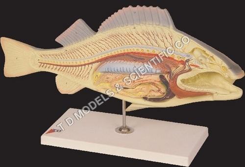 Fish Dissection ( Carp )