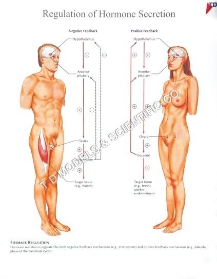 REGULATION OF HORMONE