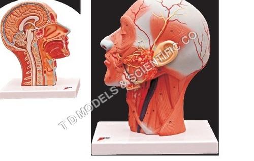Human Half Head Model