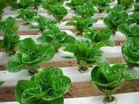 Curcuma Longa Rhizome Dry Extract