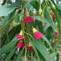 Eucalyptus Oil Globulous