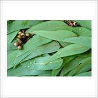 Eucalyptus Oil Hybrid