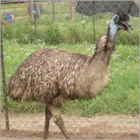 Big Emu Birds