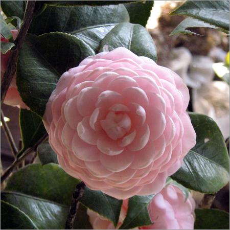 Natural Flower Plants