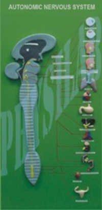 Autonomic Nervous System Model